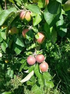 cure-de-pomme